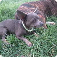 Adopt A Pet :: Rudy Chihuahua & Molly Basset - Copperas Cove, TX