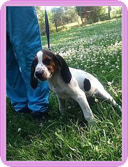 Treeing Walker Coonhound/Hound (Unknown Type) Mix Puppy for adoption in Hagerstown, Maryland - Lauretta (POM-JG)