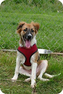 Sheltie, Shetland Sheepdog/Collie Mix Puppy for adoption in Pennigton, New Jersey - Sasha