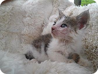 Domestic Shorthair Kitten for adoption in Columbus, Ohio - Copper Penny