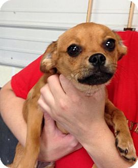 Pug/Beagle Mix Puppy for adoption in Newburgh, Indiana - Skippy