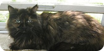 Ragdoll Cat for adoption in Newburgh, Indiana - Kitty- So Sweet !