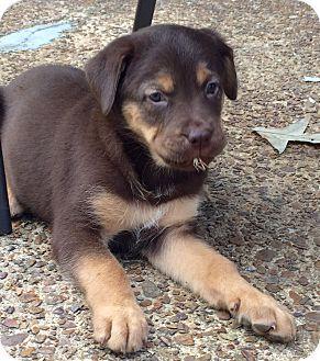 Siberian Husky/German Shepherd Dog Mix Puppy for adoption in Waterbury, Connecticut - ARIES