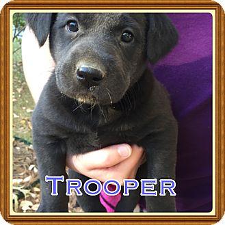 Labrador Retriever Mix Puppy for adoption in Cranford, New Jersey - Trooper