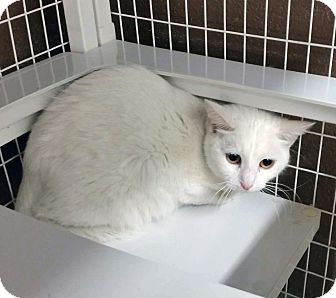 Domestic Shorthair Cat for adoption in Douglas, Wyoming - Snow