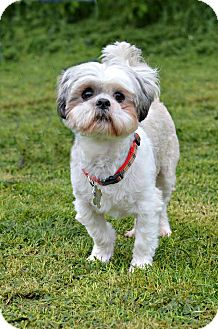 Shih Tzu Dog for adoption in Linden, New Jersey - TEDDY