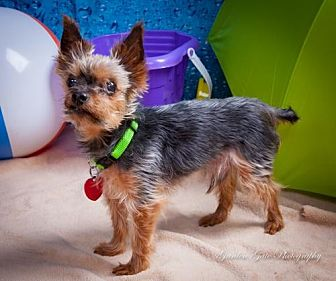Yorkie, Yorkshire Terrier Dog for adoption in Elizabethtown, Pennsylvania - Dakota the Yorkie aka Luke
