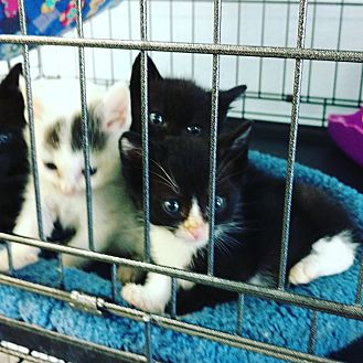 Domestic Shorthair Kitten for adoption in Monrovia, California - Roni's Kittens