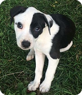 Pit Bull Terrier Mix Puppy for adoption in Columbus, Ohio - Al