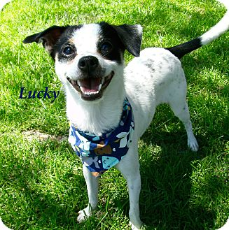 Chihuahua/Rat Terrier Mix Dog for adoption in El Cajon, California - Lucky