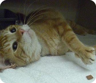 Domestic Shorthair Cat for adoption in Hamburg, New York - Buddy