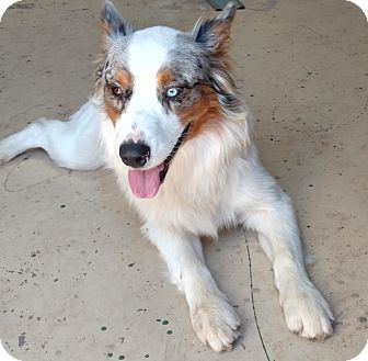 Australian Shepherd Dog for adoption in Albuquerque, New Mexico - Pogo