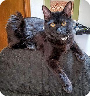 Domestic Mediumhair Cat for adoption in Dallas, Texas - Freya