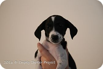 Pointer Mix Puppy for adoption in Manassas, Virginia - Elvira