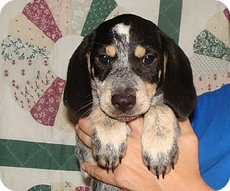 Beagle Mix Puppy for adoption in Oviedo, Florida - Fall