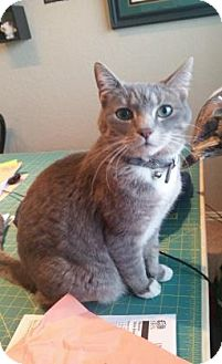 Domestic Shorthair Cat for adoption in Bulverde, Texas - Pia