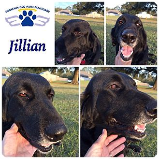 Flat-Coated Retriever Mix Dog for adoption in Folsom, Louisiana - Jillian