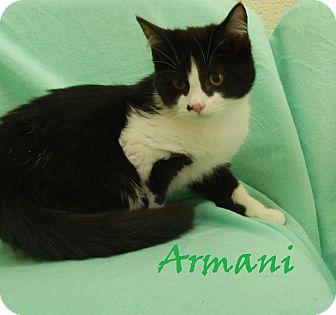 Domestic Mediumhair Kitten for adoption in Bucyrus, Ohio - Armani