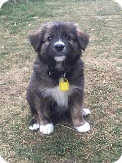 Retriever (Unknown Type)/Pit Bull Terrier Mix Puppy for adoption in Saskatoon, Saskatchewan - Abraham
