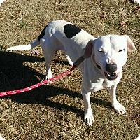 Adopt A Pet :: Holly - Lebanon, ME