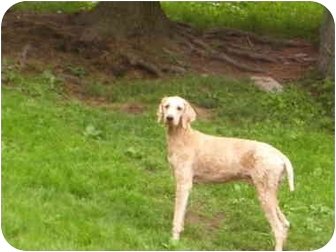 Poodle (Standard) Dog for adoption in Millerton, Pennsylvania - Gustav
