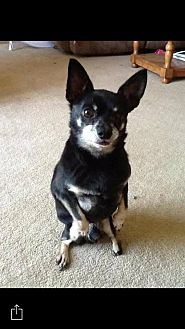 Chihuahua Dog for adoption in Bardstown, Kentucky - Chalupa