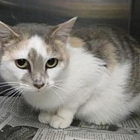 Adopt A Pet :: Brooke - Louisville, KY