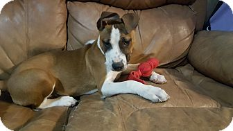 Mixed Breed (Medium)/Boxer Mix Puppy for adoption in Severance, Colorado - DOUGIE