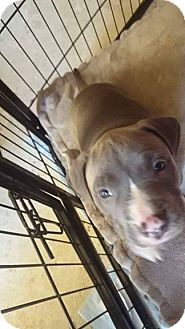 American Pit Bull Terrier Mix Puppy for adoption in Acworth, Georgia - Odysseus - Classic Litter-atur