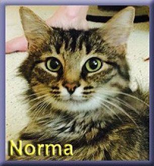 Domestic Mediumhair Cat for adoption in Aldie, Virginia - Norma