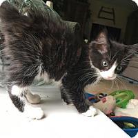 Domestic Mediumhair Cat for adoption in Tallahassee, Florida - Keith Urban