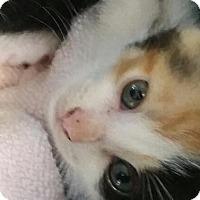 Adopt A Pet :: Apricot - Windsor, CT
