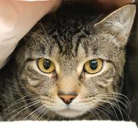 Domestic Shorthair/Domestic Shorthair Mix Cat for adoption in Richmond, Virginia - Boss