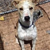 Adopt A Pet :: Abby - Rio Rancho, NM