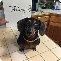 Dachshund Mix Dog for adoption in Marcellus, Michigan - (Medical Hold)Tiffany