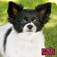Papillon/Pomeranian Mix Dog for adoption in Marina del Rey, California - Maddie