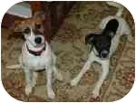 Jack Russell Terrier Dog for adoption in Thomasville, North Carolina - Minnie & Pearl