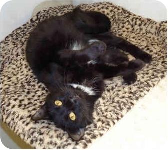 Domestic Mediumhair Cat for adoption in Chicago, Illinois - Bindi