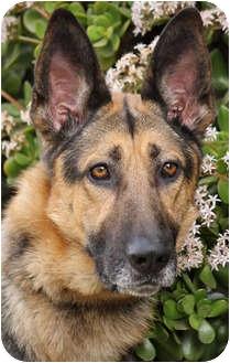German Shepherd Dog Dog for adoption in Los Angeles, California - Fritz von Fuerst