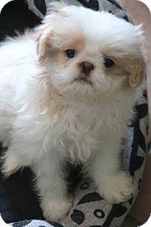 Shih Tzu/Japanese Chin Mix Puppy for adoption in Yuba City, California - Jordan