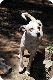 Australian Cattle Dog/Shepherd (Unknown Type) Mix Dog for adoption in Glenpool, Oklahoma - Spotty