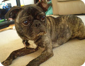 boston terrier pug mix puppies coco adopted dog 12046do owatonna mn pug boston 4503