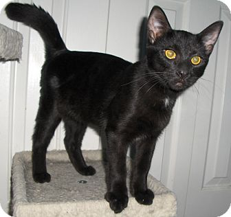 Domestic Shorthair Cat for adoption in Richmond, Virginia - Frisco