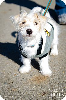 Maltese/Jack Russell Terrier Mix Puppy for adoption in Columbus, Ohio - Jack