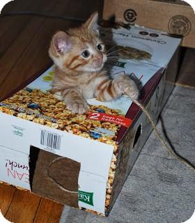 Domestic Shorthair Kitten for adoption in Chicago, Illinois - Ron