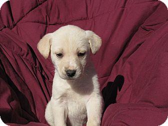Labrador Retriever Mix Puppy for adoption in Oakland, Arkansas - Noodles