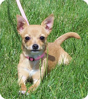 Chihuahua Mix Puppy for adoption in Milford, New Jersey - Widget