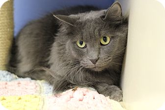 Domestic Longhair Cat for adoption in Chicago, Illinois - Giuseppe
