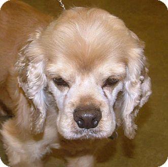 Cocker Spaniel Dog for adoption in North Little Rock, Arkansas - Benton