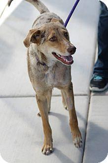 Australian Shepherd Mix Dog for adoption in Phoenix, Arizona - Deuce